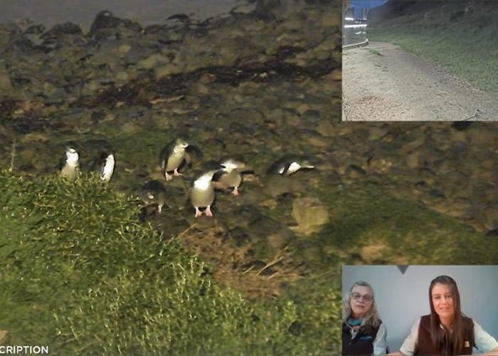 """澳洲菲利普岛自然公园设""""企鹅直播电视台"""" 直播""""企鹅游行"""""""