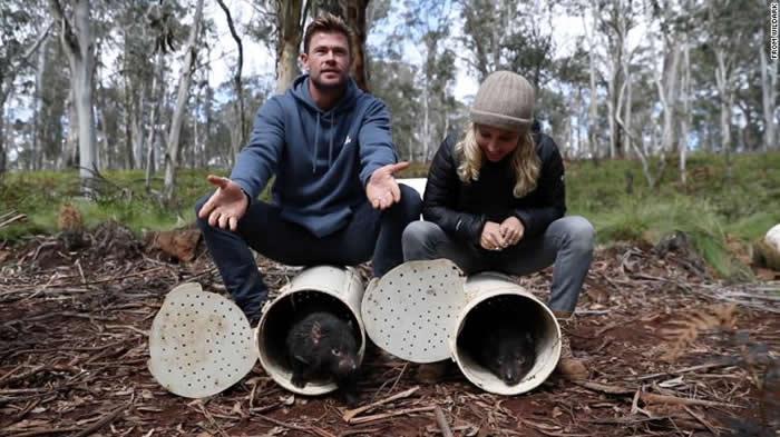 """在澳洲大陆绝种3000年的""""塔斯马尼亚恶魔""""袋獾在巴灵顿山国家公园野放"""