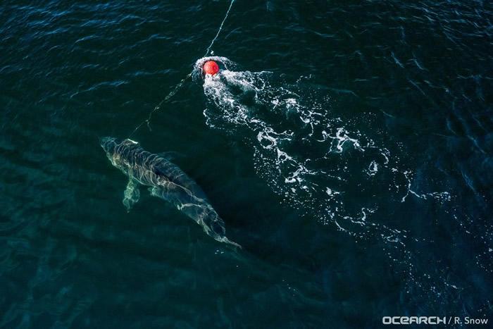 """加拿大西北水道中捕获年龄高达50岁的雌性大白鲨""""海洋女王""""努姑米"""