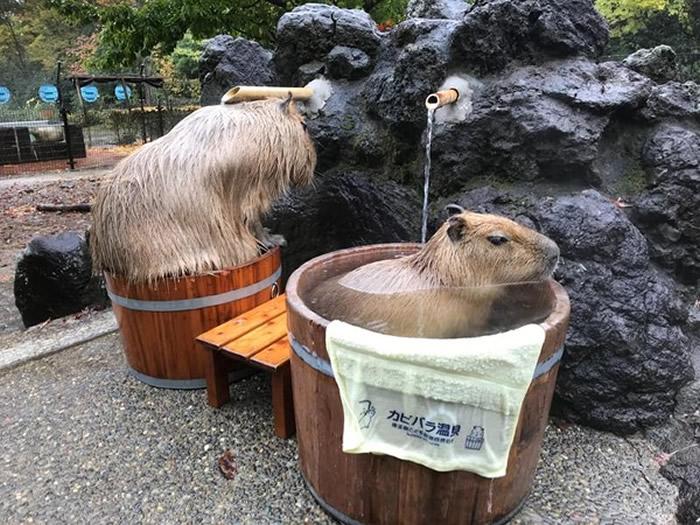 日本埼玉县儿童动物自然公园水豚泡温泉