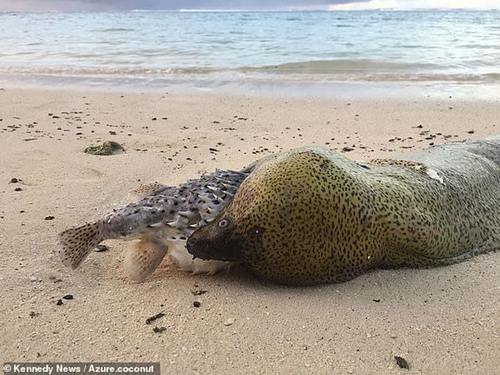 鳗鱼试图吞下一条鲀鱼 最后鲀鱼在其嘴里膨胀使其窒息死亡