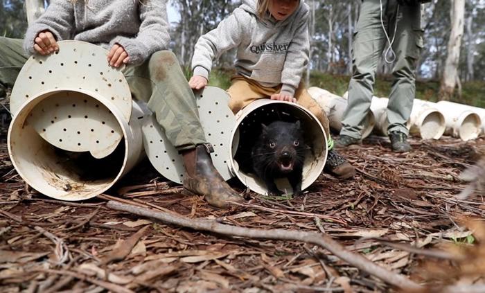 袋獾进入它们在澳洲东部桉树林的新家。 PHOTORGAPH COURTESY OF WILDARK
