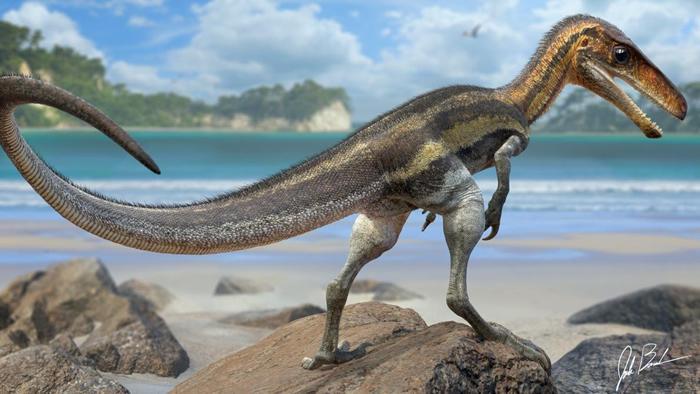 侏罗猎龙(Juravenator)是一种生活在1.5亿年前现今德国的小型掠食恐龙,它尾巴上保存的鳞片有着小小的突起物,科学家相信那是感觉器官。 ILLUSTRA