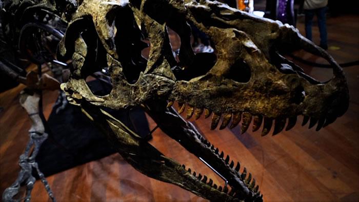 """近乎完整的食肉恐龙""""异特龙""""化石在法国巴黎以300万欧元拍卖成交"""