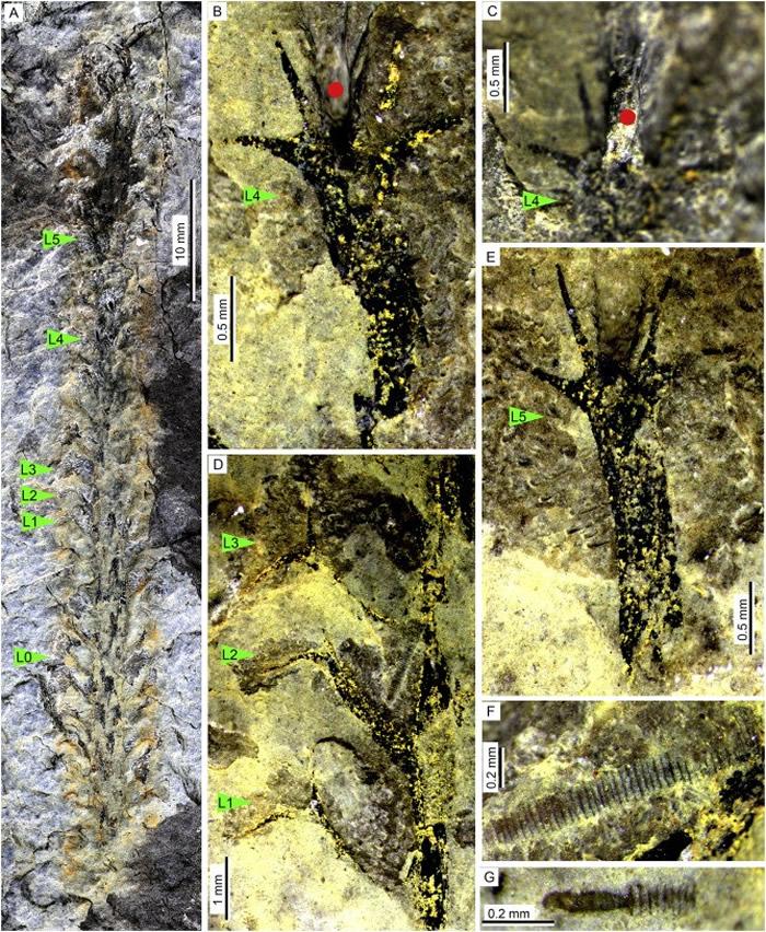 云南盘溪中-晚泥盆世地层中所产出的Leclerciqa(莱氏蕨)石松类和竹节石化石