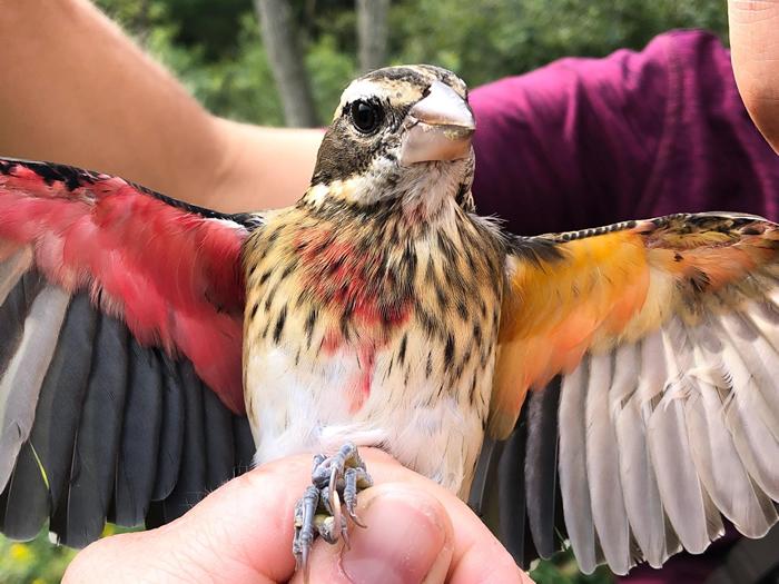 研究人员9月时在火药厂自然保留区抓到了这只玫胸白翅斑雀。它黄色的那半边身体是雌的,而红色那半边是雄的──这是一种名为「雌雄双嵌体」的症状。 PHOTOGRAPH