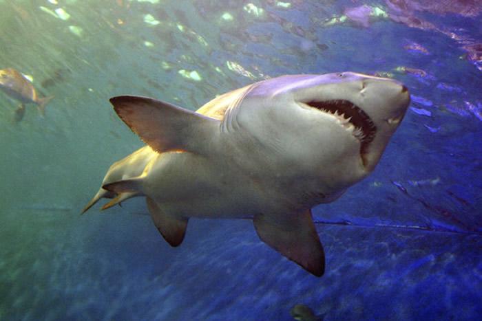 澳洲今年鲨鱼已经咬死7人创近百年新高 地球暖化栖息地迁移导致