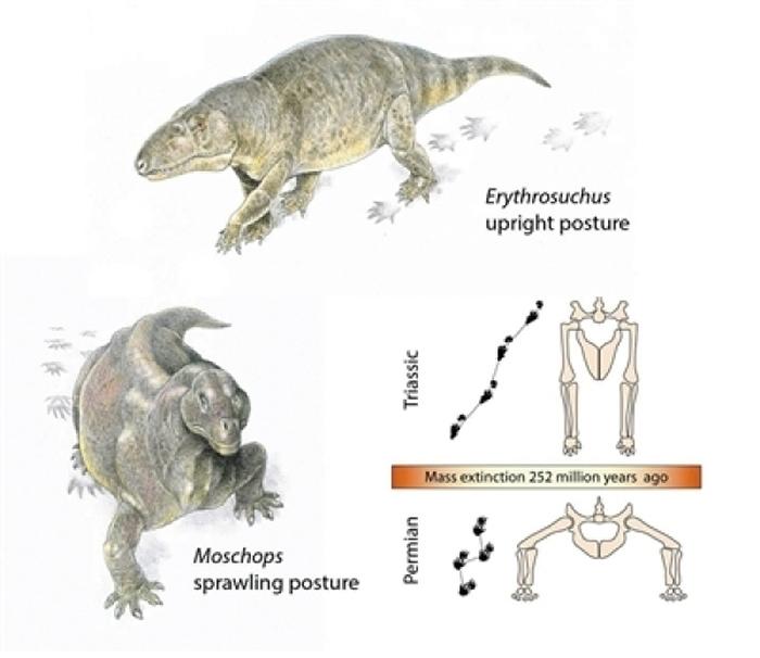 二叠纪末期到三叠纪大灭绝发生前后,大多数爬行动物从四肢伸展的姿势变成直立行走。图片来源:物理学家组织网