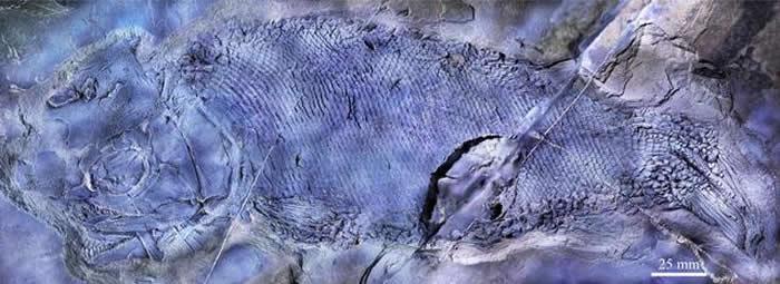 """《PeerJ》:云南罗平发现世界上最古老的疣齿鱼科鱼类化石——""""云南暴鱼"""""""