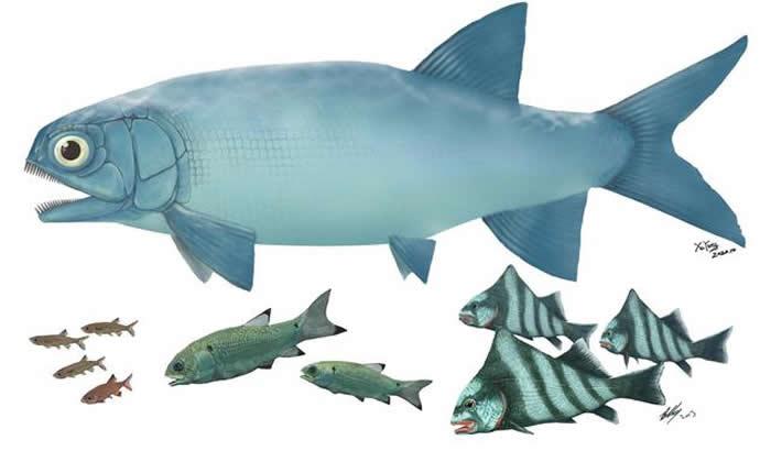 """""""云南暴鱼""""(上)与其他罗平鱼类(下)体型比较"""