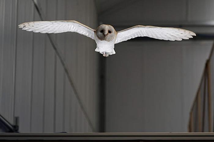 通过观察暴风雨下飞行的谷仓猫头鹰姿态 研究发现鸟类如何在狂风中飞翔