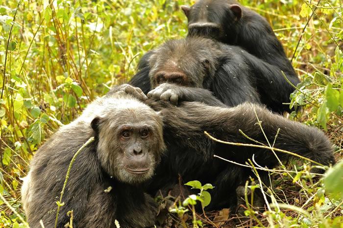 野外的老年黑猩猩和人类一样会关注数目虽少但却更具意义的友谊