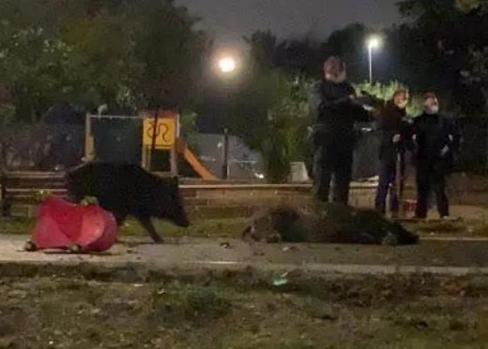 母野猪带着6只小崽误闯梵蒂冈附近游乐场 惨遭全部杀死激起民愤