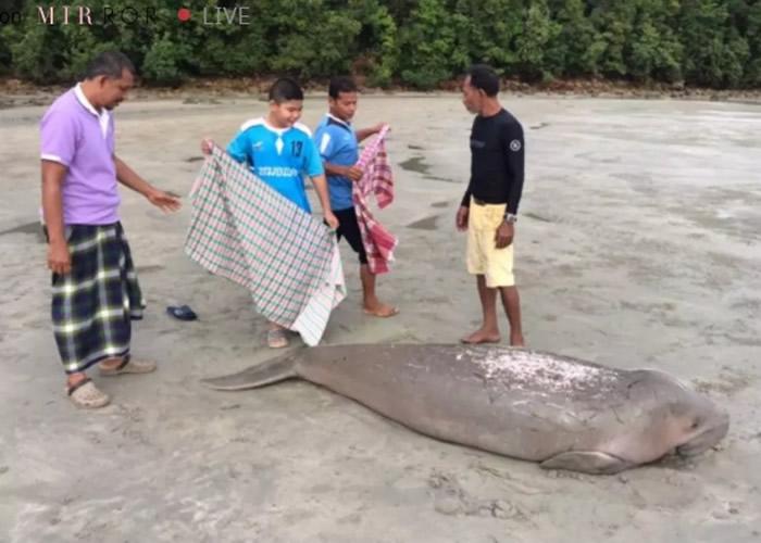 渔民曾试图用束腰布将儒艮放回大海。