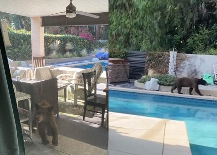 美国加州小熊闯民居后花园 拍门吓惊女主人