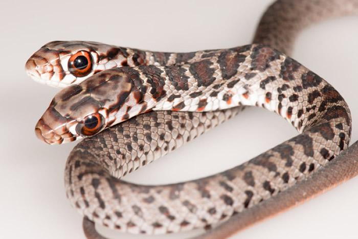 """美国佛罗里达州一户人家的爱猫外出探险竟叼回稀有""""双头蛇""""——黑游蛇"""