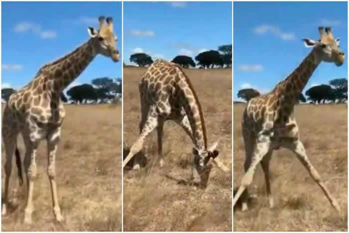 长颈鹿是世界上最高的哺乳类动物 它如何吃地面上的草?