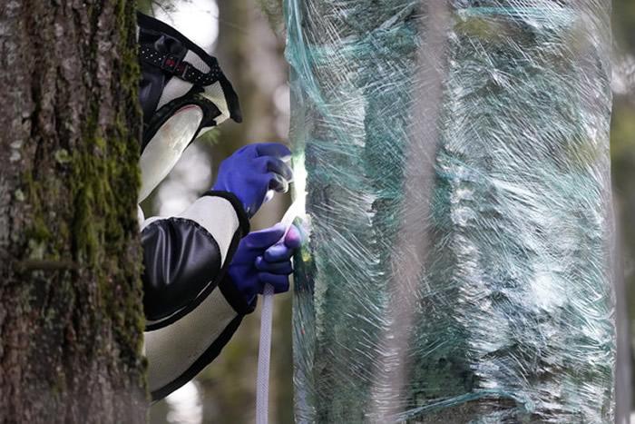 """俗称""""杀人蜂""""的大虎头蜂入侵美国 首个巢穴曝光"""