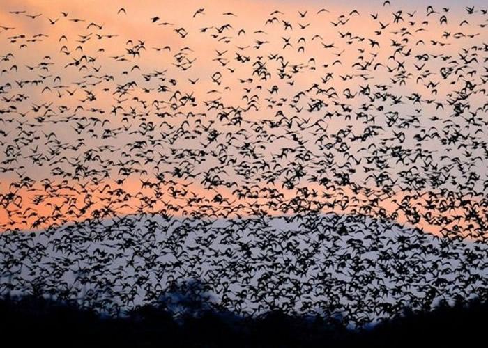 英国苏格兰南部小镇格雷特纳每年都会见到椋鸟大规模迁徙的壮观景象