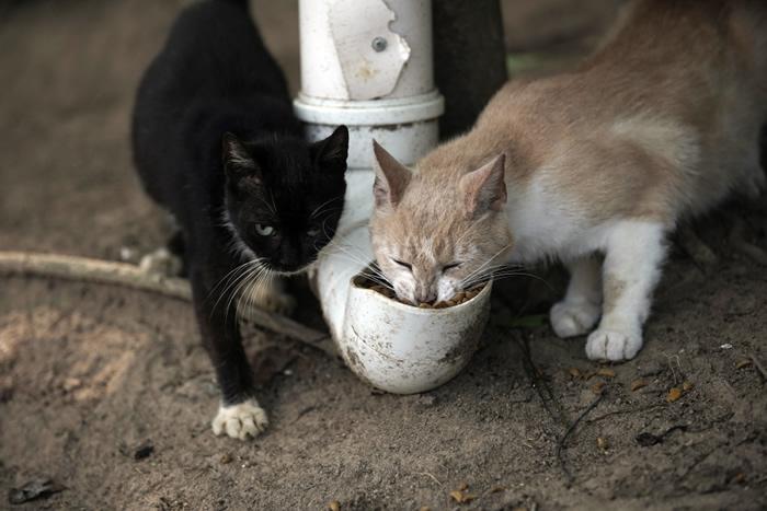 """巴西的富塔达岛因疫情影响没有游客 导至猫咪闹饥荒传出""""猫吃猫""""惊悚景象"""