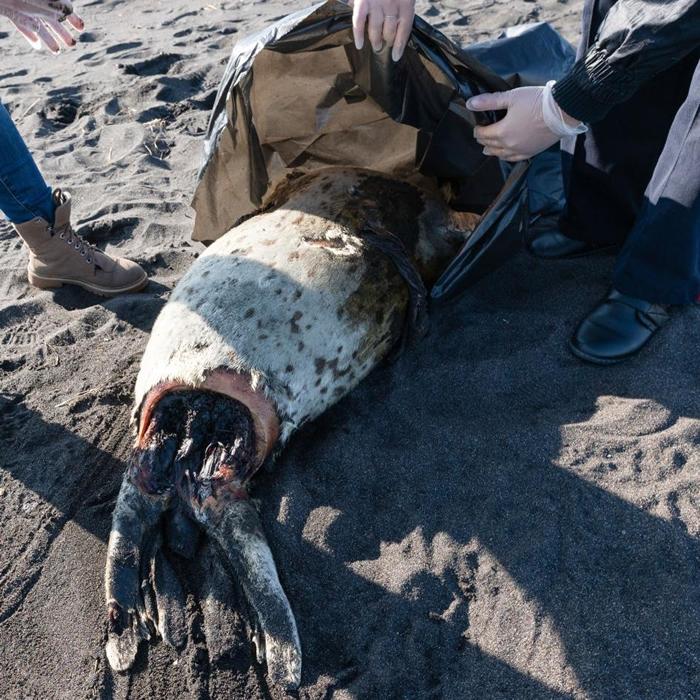 一只死去的斑海豹,伴随着一堆堆已无生命的海胆、海星及其他底栖生物,被冲上俄罗斯远东地区的哈拉克特尔斯基海滩(Khalaktyrskiy Beach)。 PHOT