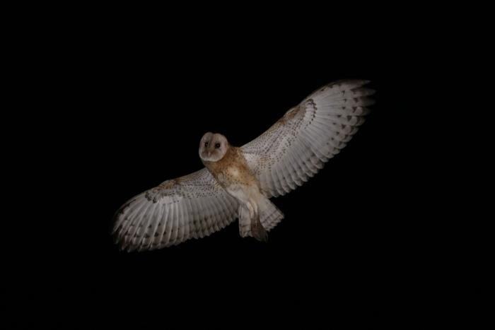 草鸮(摄影:李昱纬)