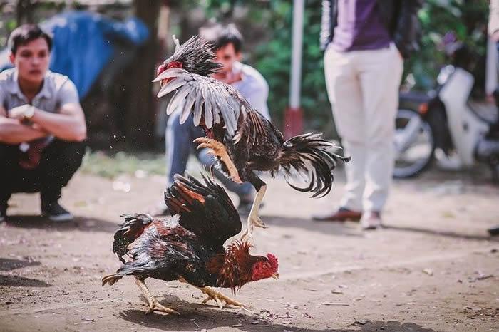 菲律宾警察在非法斗鸡场执行任务时竟然被一只公鸡杀死