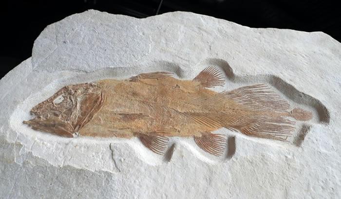 2亿年前古老鱼类化石将在英国预计以5万英镑的价格拍卖