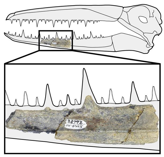 5000万年前生活于南极的巨型远洋鸟类伪齿鸟或为有史以来最大飞行鸟类