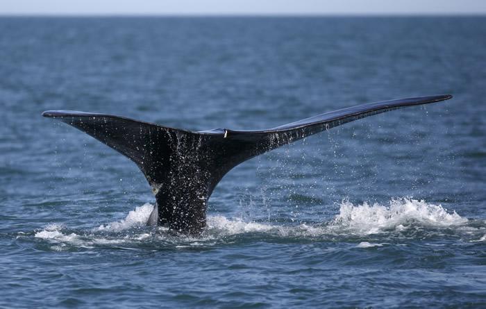 美国国家海洋暨大气管理局(NOAA):北大西洋露脊鲸全球仅存366头