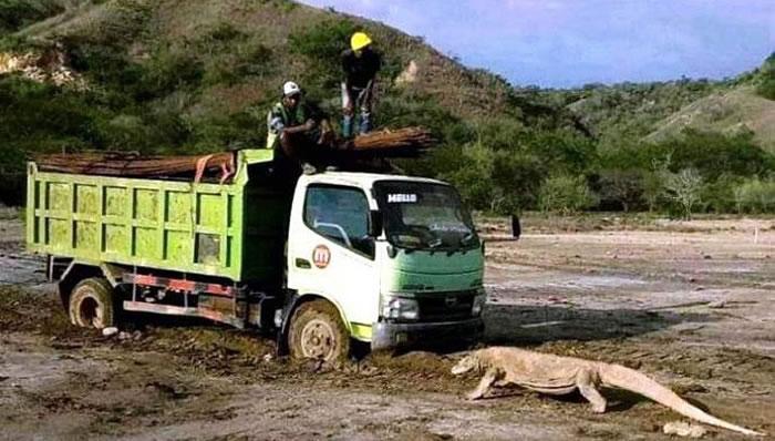 印尼林卡岛科莫多龙和施工卡车对峙的照片引发关注