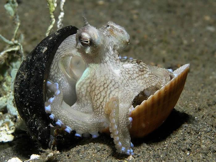 20米深海底发现塑胶杯椰子章鱼 潜水员捡一堆贝壳说服它换新家