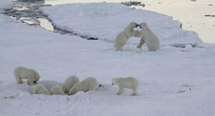 俄罗斯楚科奇自治区雷尔凯皮村搁浅的鲸鱼尸体引来了近50只北极熊