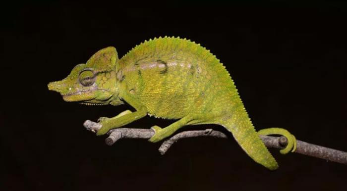马达加斯加发现Voeltzkow变色龙 最后一次见到它是在1913年