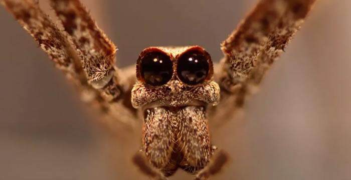 """""""食人魔之脸""""蜘蛛Deinopis spinosa能用腿来聆听来自空中昆虫的声音"""