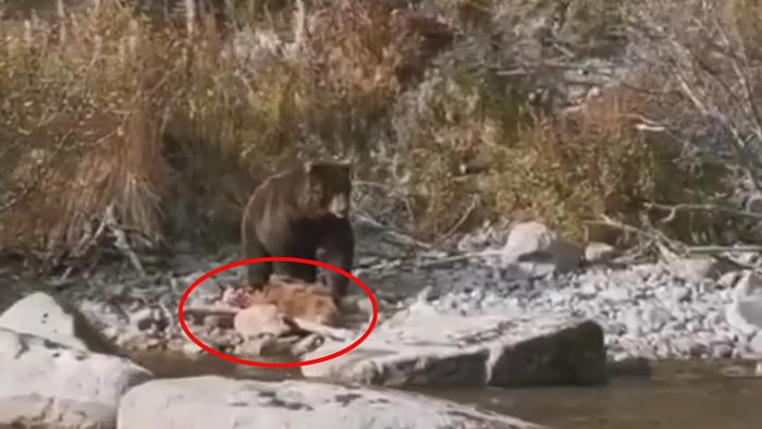 俄罗斯库页湖拍到一只棕熊正在吃幼崽的恐怖画面