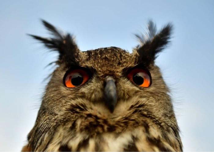 猫头鹰视网膜细胞中的DNA组成机制独特 增强夜间视力胜于其他鸟类