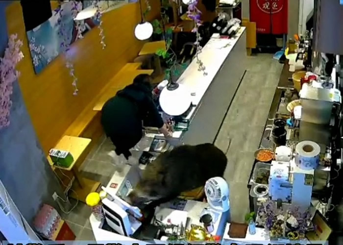 野猪硬闯江苏南京建邺手摇饮品店 终被麻醉枪制服送入动物园