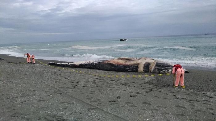 春节搁浅台东长滨外海蓝鲸,初步鉴定来自北印度洋类群。图片来源:海保署
