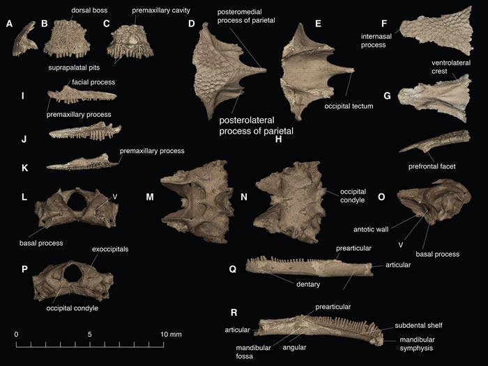 化石发现提示被当作古时的变色龙可能是阿尔班螈类两栖动物Yaksha perettii
