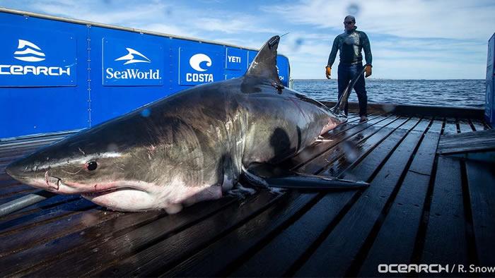 在加拿大被标记的全球最大大白鲨Unama'ki在