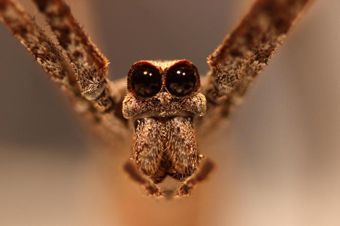 鬼面蛛有八个眼睛,其中朝向正面的两颗超大眼睛是它获得这个名称的原因。 PHOTOGRAPH BY JAY STAFSTROM
