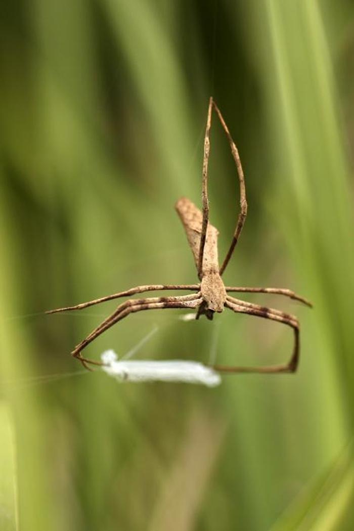 根据这份研究,鬼面蜘蛛会用丝织出一个有黏性的网子,然后以子弹般的极快速度,在头顶上方「翻转」以捕捉飞行中的昆虫。 PHOTOGRAPH BY JAY STAFS
