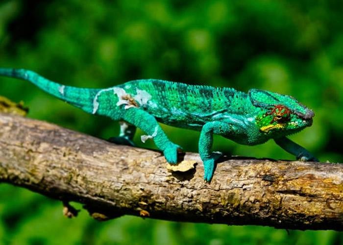"""非洲马达加斯加发现""""沃兹考氏变色龙"""" 上一次发现这个品种已是100年前"""