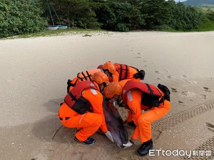 台湾垦丁南湾沙滩发现弗氏海豚死亡 鲸脂有多量寄生虫囊