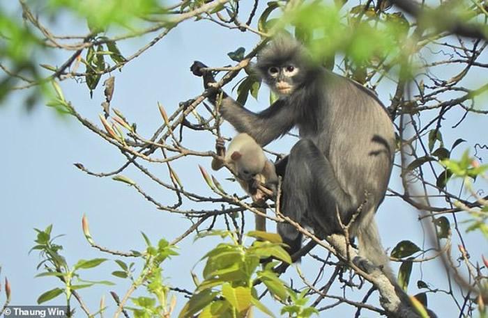 缅甸发现猴子新物种:波巴叶猴Trachypithecus popa 野外数量仅有200到250只