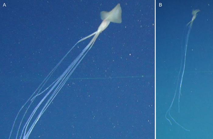 《PLOS One》:深海探险家在澳大利亚沿海拍摄到神秘的大鳍鱿鱼