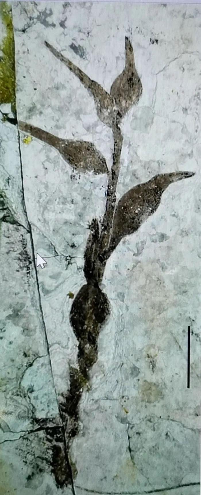 中国早白垩世被子植物的新果序:柳条沟始果为被子植物起源提供新证据