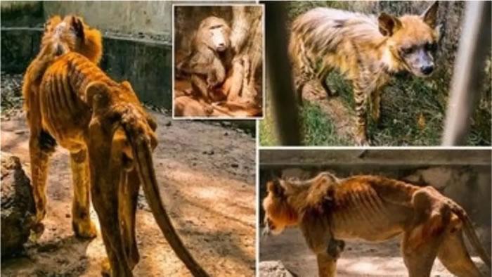 男子参观尼日利亚Gamji Gate动物园 惊见雄狮Shadow被饿得瘦成纸片