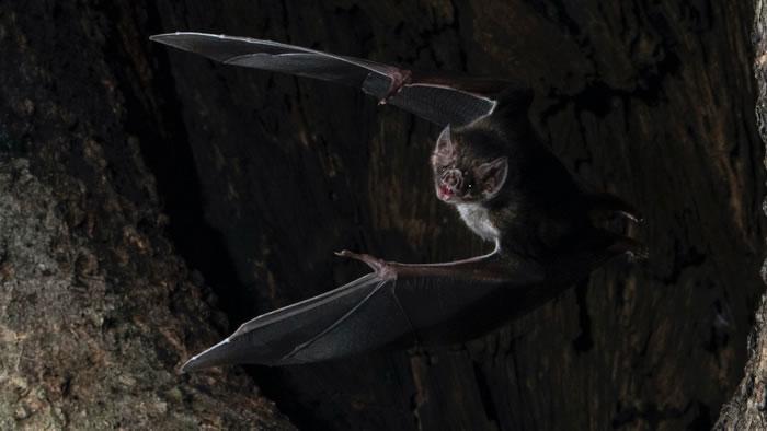 《行为生态学》:蝙蝠发现自己生病时 会和同伴保持社交距离